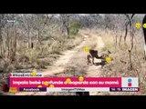 Bebé antílope confunde a un leopardo con su madre y ¡es devorado!  | Noticas con Yuriria Sierra