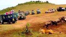 Oui, les lions chassent mieux que les lionnes... La preuve!!!
