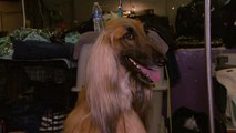 Westminster Dog Show: Inside the Competition With the Pampered Pups!