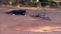 Cat attacks snake cobra most exciting fight between cat and snake