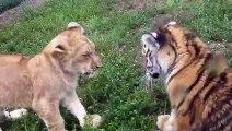 Un bébé lion et un bébé tigre livrent leur premier combat... Adorable