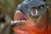 Les poissons les plus dangereux
