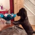 Incroyable !! Ce chien aime trop les chocolats