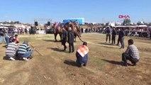 Spor Serik'te Yörük Türkmen Deve Güreşleri Yapıldı