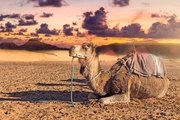 Dromadaire et chameau : une ou deux bosses ? Et pourquoi ?