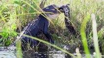 Clash of the titans! Huge alligator battles with 16ft python