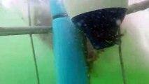 Attaque de requin blanc filmée par une touriste (Afrique du Sud)