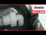 Shocked homeowners find 4ft snake in toilet cistern 'turned blue by cleaning products' | SWNS TV