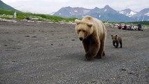 Impressionnant : ces touristes croisent un énorme ours accompagné de ses petits