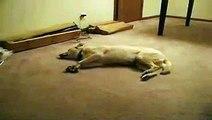 Ce chien court dans son sommeil.. et se prend le mur en vrai !