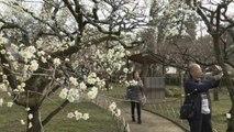 Les prunes à l'honneur à Kyoto, au Japon