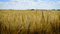 01 - Le blé d'Edgeley, une céréale de qualité inégalée