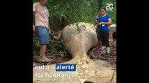 Brésil: Une baleine à bosse retrouvée au milieu de la forêt amazonienne