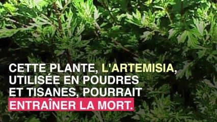 Artémisia : cette plante qui peut être mortelle