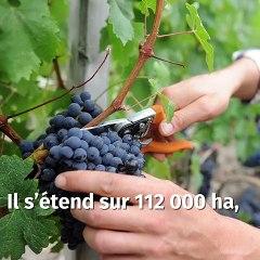 Vins de Bordeaux : une filière historique et prospère