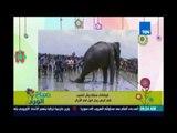 صباح الورد - انقاذ فيل من الغرق بسبب الفيضانات في بنجلاديش
