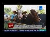 ستوديوالاخبار.. وزارة الزراعة : طرح عجول حية في الاسواق خلال شهر رمضان لمواجهة غلاء الاسعار