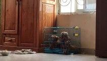Prison Break with Poodles