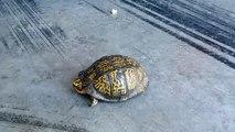 Cette tortue est extraordinaire. Observez sa carpe avec attention !!