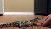 Ce bébé crocodile n'aime pas les câlins. Attention les doigts