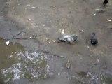 Ce pigeon défend férocement son bout de pain et ne veut pas partager