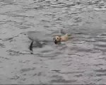 Un chien saute à la mer pour aller jouer avec les dauphins