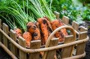 Les Experts Jardin: Mes semis de carottes ne sortent pas