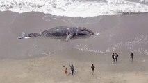 Une 9e baleine grise retrouvée morte en Californie