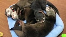 Des loutres en famille dorment tous ensemble. Trop mimi !