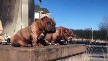 Ces chiens ont la coupe de Pogba sur leurs poils !