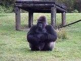 Ce gorille du zoo de Miami parle en langue des signes avec les touristes... magique