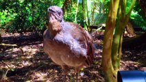Amazing Lyrebird can Mimics Chainsaw, Car Alarm any sound in the world ¦ You Won't Believe Exist