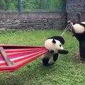 Magnifique !! La vidéo de ces adorables pandas vous laissera à bout de souffle.