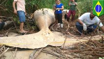 Misteri paus bungkuk ditemukan di dalam hutan Amazon - TomoNews