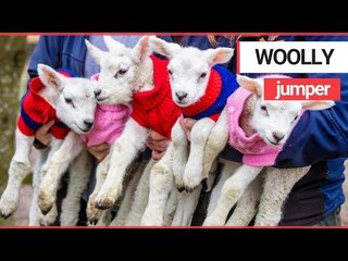 Five newborn lambs dressed in woolly jumpers to keep them warm | SWNS TV