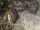 Ils trouvent un énorme anaconda en pleine digestion dans un ruisseau
