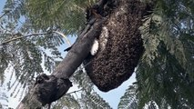 Bees Build Massive Hive Above Hollywood Walk Of Fame