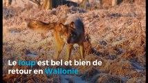 La Meuse-Luxembourg: un loup attaque un troupe de moutons à La Roche