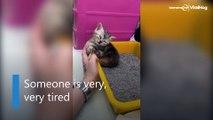 Kitten falls asleep in litter box