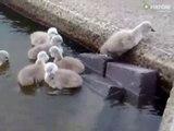 Quoi de plus adorable que ces bébés cygnes qui essaient de sortir de l'eau pour rejoindre maman