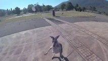 Ces kangourous détestent les parachutistes...
