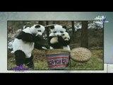 هالة فاخر تعرض بالصورعلماء صينيون يرتدون زي الباندا للتعامل مع صغارها ... شاهد السبب ؟