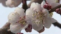 봄 내음 가득한 매화밭...꽃 나들이 인기 / YTN
