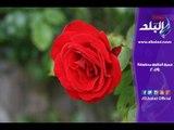 صدى البلد | أحدث أشكال بوكيهات الورد وأسعارها في عيد الحب