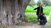 Arıları kovmak için 700 yıllık ağaçları telef ettiler