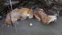 Inde : sauvetage de deux léopards tombés dans un puits