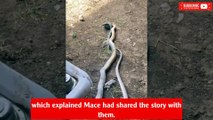 Huge snake eats another snake that was attacking a rat: 'Crazy turn of events'