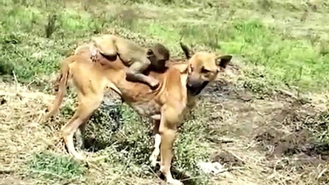 Amamantando A Un Hombre Porno una perra amamanta a un mono huérfano: una adopción inmediata
