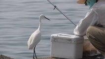 Cet oiseau vient demander du poisson à un pêcheur... Adorable