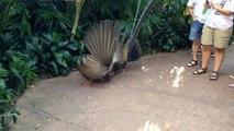 Cet oiseau fait le beau devant sa femelle et c'est impressionnant - Argus géant